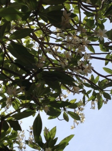 The plumeria are in bloom around Garoua.